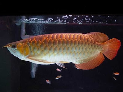 Gambar Ikan arwana red tail golden