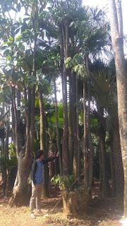 Jual pohon pule bonggol besar cocok untuk halaman rumah harga murah