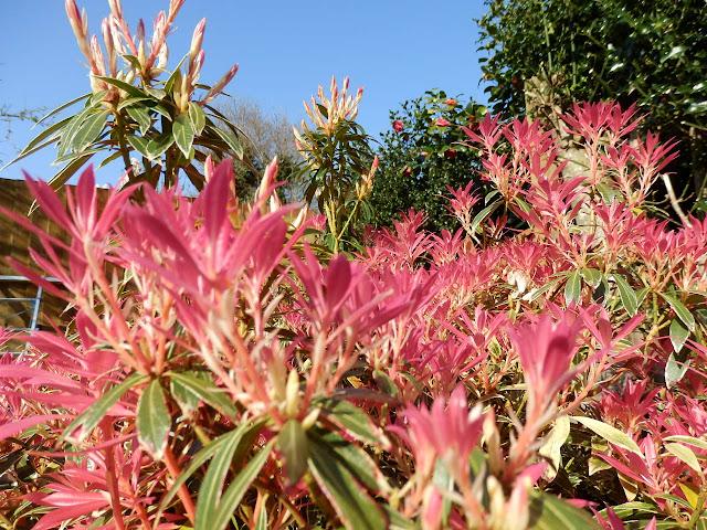 Pink coloured shrubs