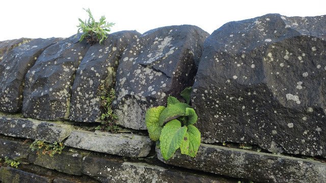 Foxgloves and other plants on wall in West Yorkshire.