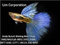 3 Cara Praktis Untuk Suksesnya Budidaya Ikan Guppy, Dijamin Tanpa Repot!