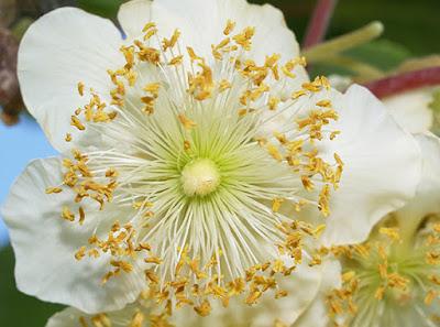 Flor masculina del kiwi