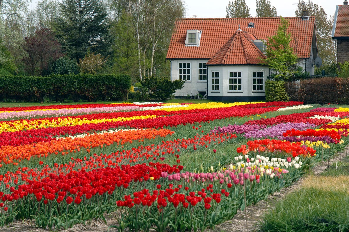 Tulip Fields Garden Flower With House Fresh Flowers