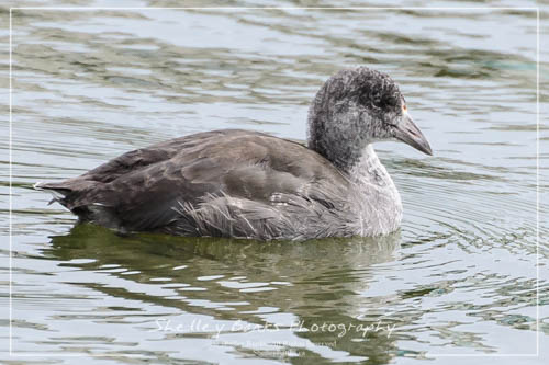Juvenile American Coot.  Copyright © Shelley Banks. All rights reserved.