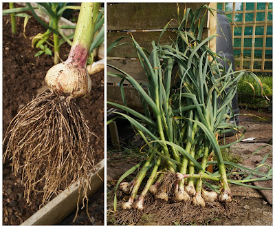 first garlic lifted - growourown.blogspot.com - an allotment blog