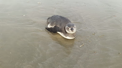 Com a chegada do inverno, 21 pinguins apareceram nas praias da Ilha. Orientação é acionar o município e os órgãos ambientais
