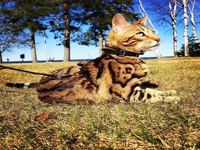 Les Chats Du Bengale Sont-Ils De Bons Mousers
