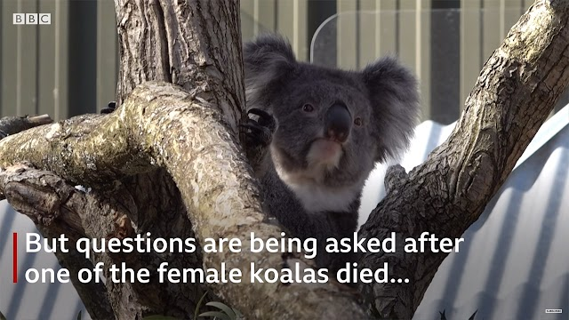 Koala scheme 'working despite death' | BBC News | Breaking Video News Xit4U