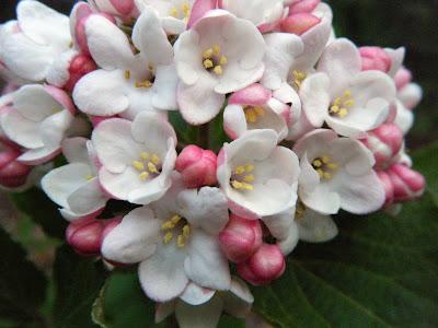 spring viburnum flowers
