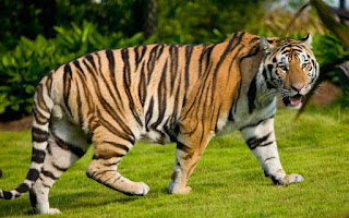 Penampilan Harimau Sumatra