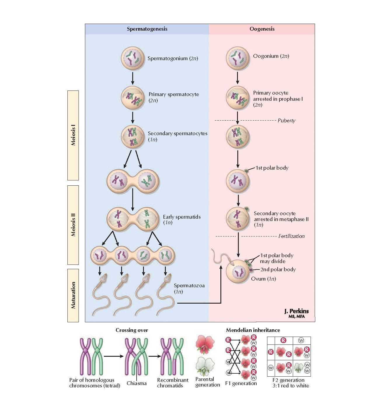 Genetics of Reproduction Anatomy