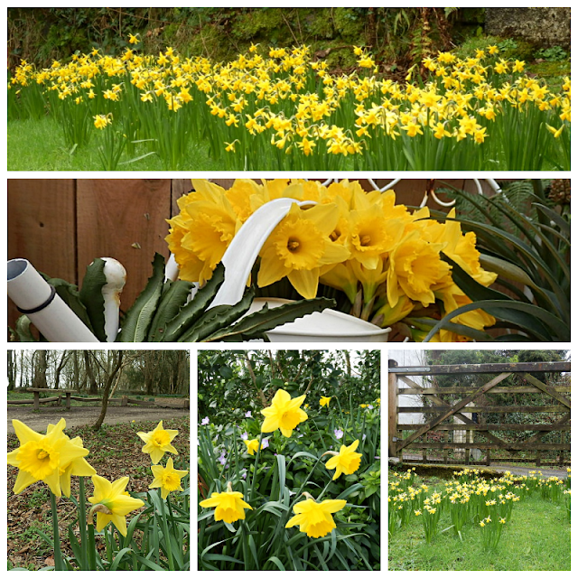Lots of early daffodils in Cornwall