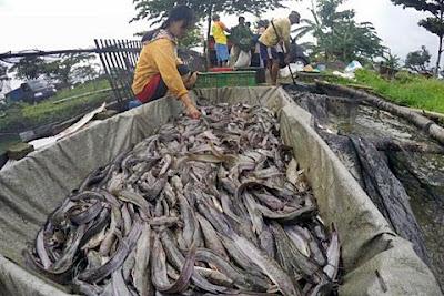 Harga Ikan Lele Untuk Konsumsi Terbaru 2020