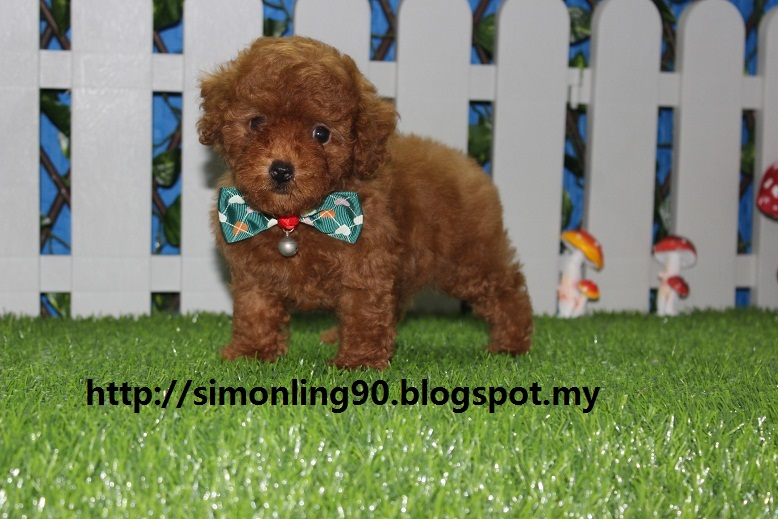 Welcome To Youandmepets Enterprise Soldtiny Toy Poodle