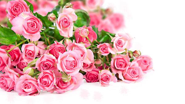 wallpaper mawar pink