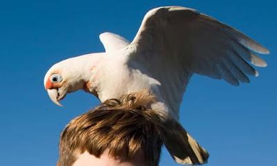 'Pesky little birds': corella culls planned in Western Australia