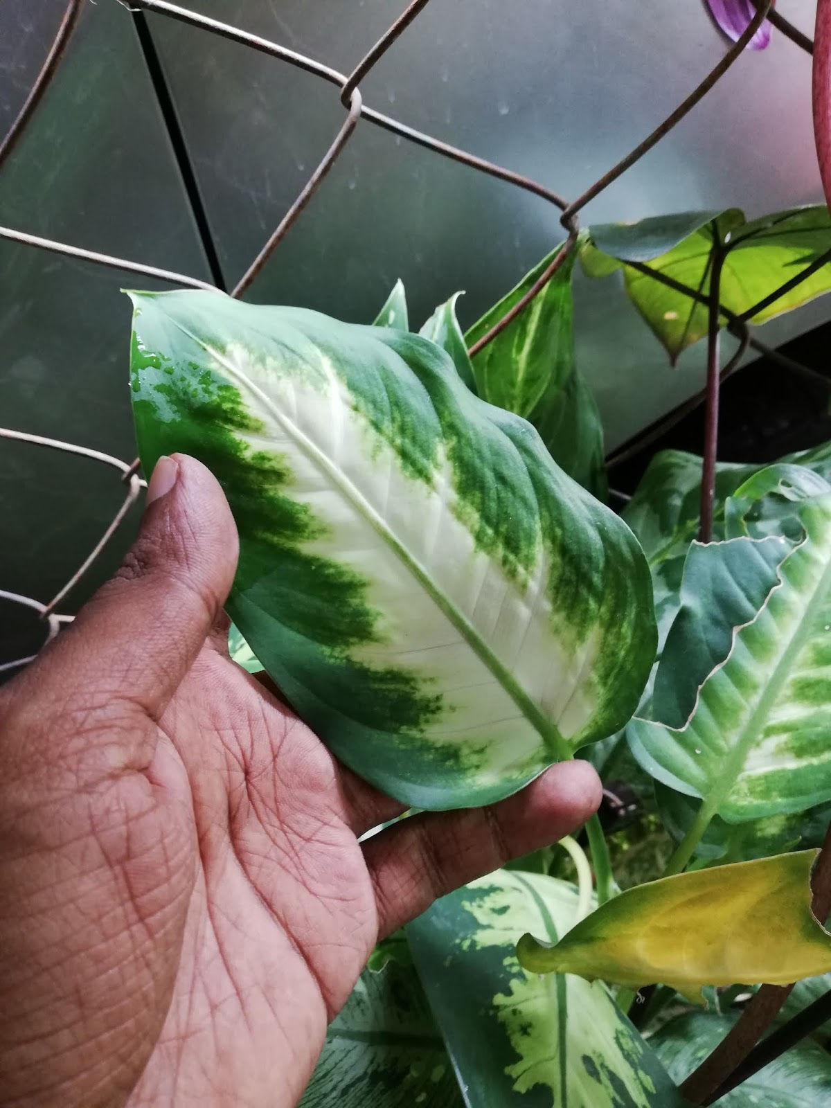 Garden Chronicles : Dumbcane - ffenbachia - Best Indoor ... on names of house buildings, names of dracaena plants, names of plants inside, names of dry plants, names of office plants, indoor plants, names of herbaceous perennials, names of different houseplants, scientific names of plants, names of gifts, names of unusual plants, names of flowers, names of landscape plants, names of elephant ear plants, names of hibiscus, names of seashore plants, names of climbers, names of fuchsias, names of house design, names of angel plants,