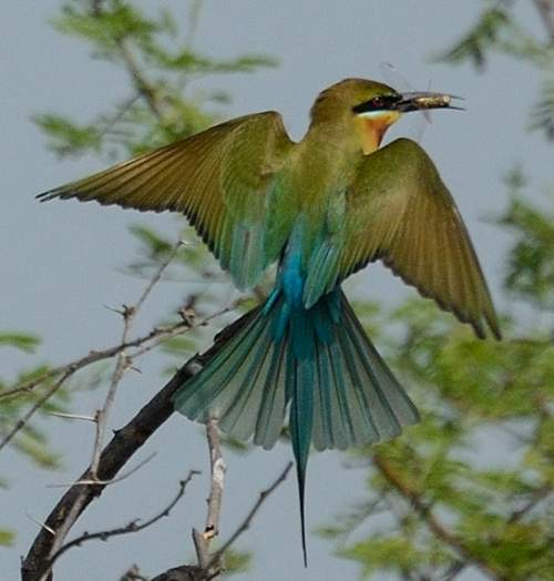 Birds of India - Photo of Blue-tailed bee-eater - Merops philippinus