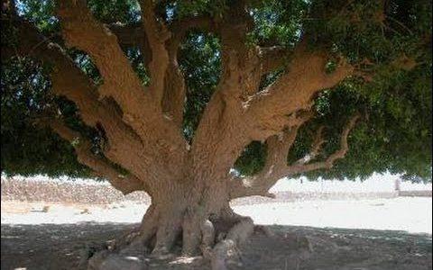 بالفيديو: معجزة الشجرة التي استظل تحتها الرسول صلى الله عليه وسلم والتي ظلت خالدة حتى الآن