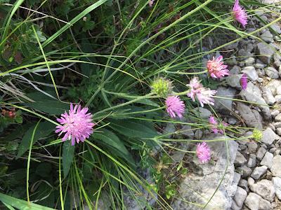 Knautia arvensis – Field Scabious (Ambretta comune).