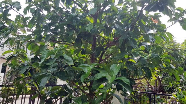 ต้นชมพู่มะเหมี่ยว