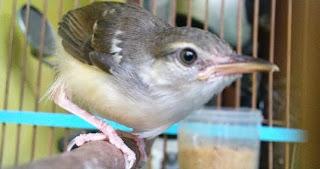 Harga Jual Burung Prenjak Putih Terbaru di Surabaya