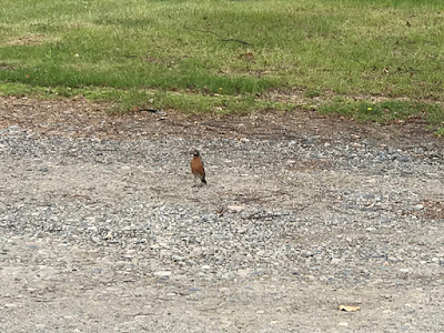 Our Campground is Full of Robins