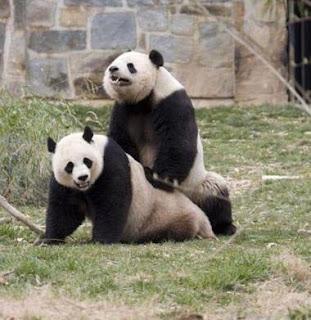 cc3 clan de esport mano post pandas sao fofos