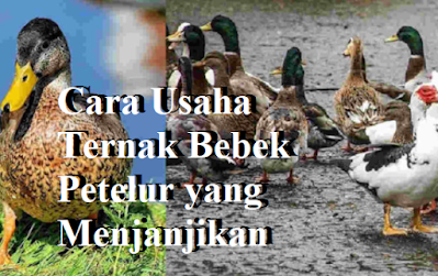 Cara Usaha Ternak Bebek Petelur yang Menjanjikan