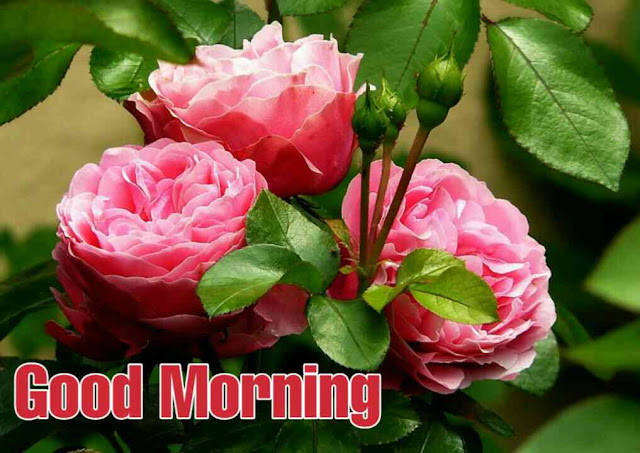 Good morning have a nice day with beautiful pink rose flower bouqet