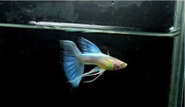 Jenis dan Harga Ikan Guppy Termahal dan Terpopuler