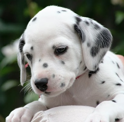 Training Dalmatian Puppies What Should You Look For In A Puppy