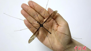 A hand holding a huge insect - the giant-sized Chinese Crane fly