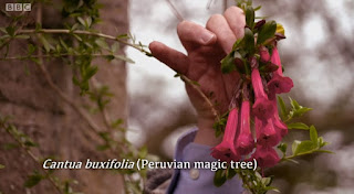 Peruvian Magic Tree
