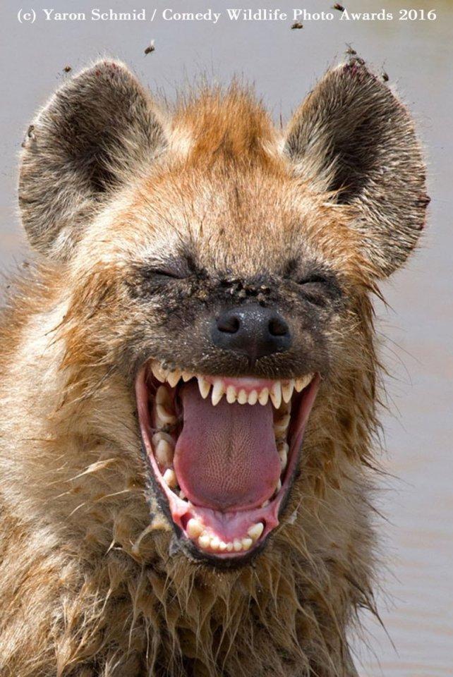 serigala pedas