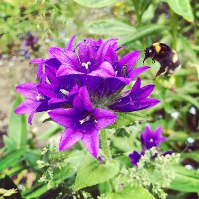 Mehiäinen laskeutumassa peurankellon violettiin kukkaan