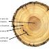 Anéis de crescimento das árvores denunciam aumento do aquecimento global