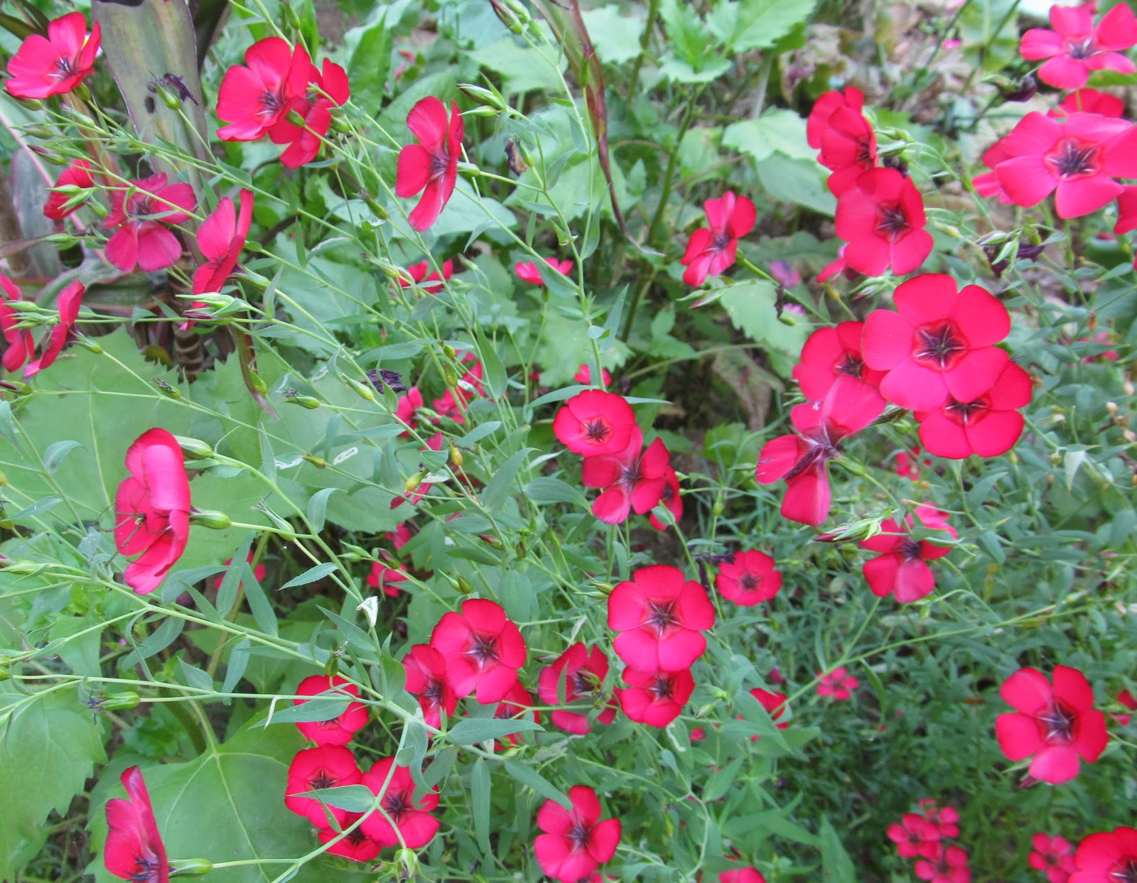NATURAL & UNIQUE PHOTOGRAPHY: SCARLET FLAX OR FLOWERING ...