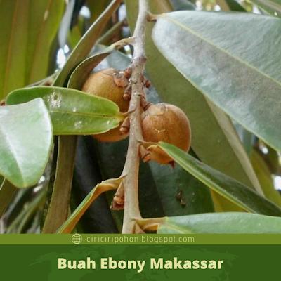 Ciri Ciri Buah Ebony Makassar