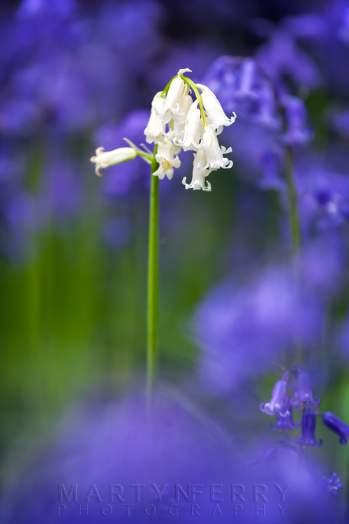 Brampton Wood bluebells in shallow focus with a white bell in macro