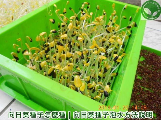 葵花,向日葵生長過程,葵花籽,向日葵種植,食用向日葵種植,葵花種植,向日葵子,向日葵種子價格,向日葵種子怎麼種,向日葵種植時間
