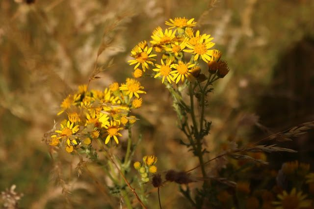 Closeup of yellow flowers in a summer field