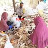Bhabinkamtibmas Desa Paddinging Polsek Mapsu Kerjasama Warga Binaannya Menguliti Jagung