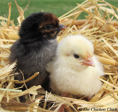Black Copper Marans, Wheaten Marans