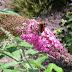 Foto van een mooie vlinder op een roze vlinderstruik
