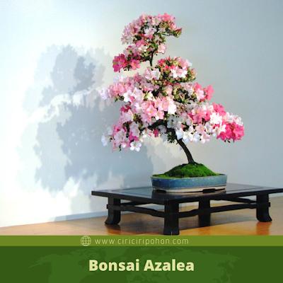 BonsaiAzalea