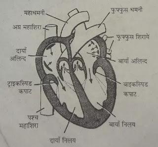 मनुष्य हृदय की संरचना