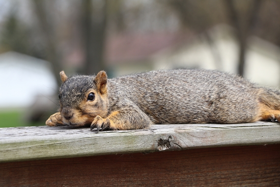 squirrel lying down