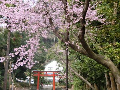 桜:鶴岡八幡宮