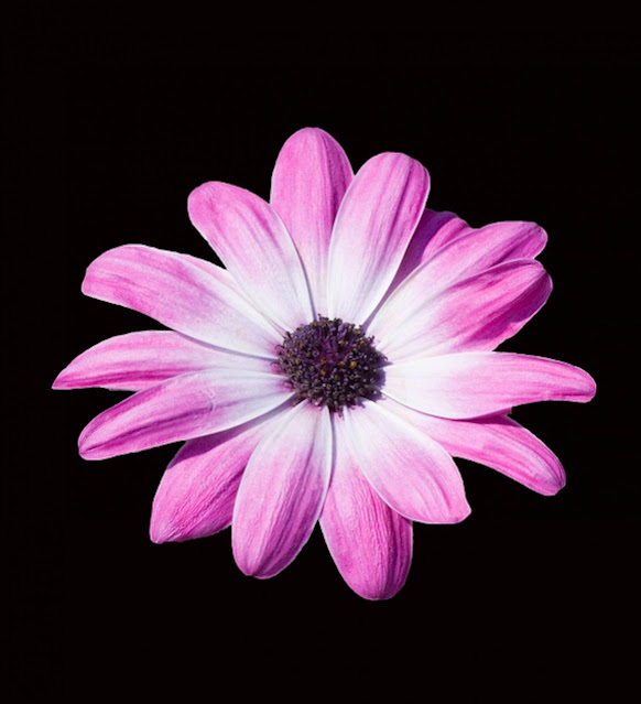 flower  pics rose flower images hd wallpaper free download rose hd wallpaper free download